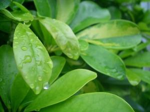 雨上がりの葉.jpg